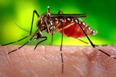 Apenas 30% dos mosquitos coletados no estudo se contaminaram