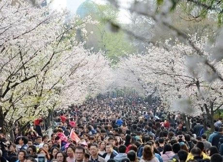 Milhares de chineses se reúnem para apreciar beleza das cerejeiras