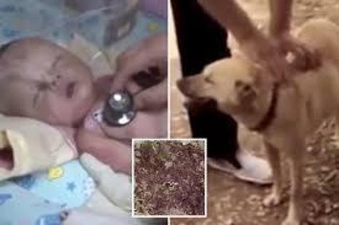 Um cão salvou um bebê de 1 mês que tinha sido enterrado vivo no meio do mato. O bicho, de Chongqing, cidade no sudoeste da China, cavou um buraco no piso cheio de lama e terra numa floresta no bairro de Jiangjin, no subúrbio do município. O cachorro heroico estava com seu dono, Yang Jiali, e desapareceu. Ele o encontrou batendo desesperadamente as patas sobre a terra