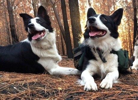 Conheça as três cadelas que estão reflorestando bosques queimados