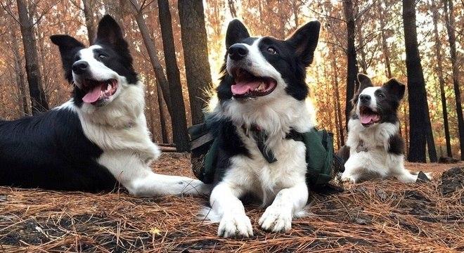Cadelas da raça border collie percorrem quilômetros de áreas devastadas pelo fogo e espalham semestes