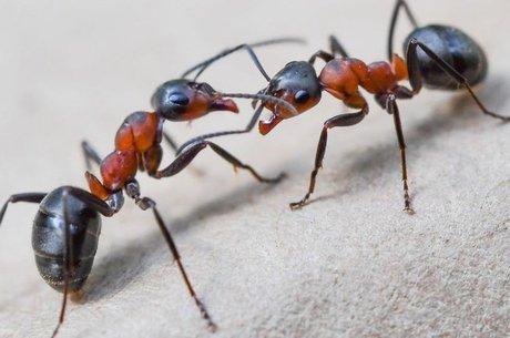 Formigas usam o ácido para se defender
