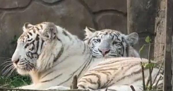 Tigres brancos atacam e matam cuidador em parque nacional da Índia