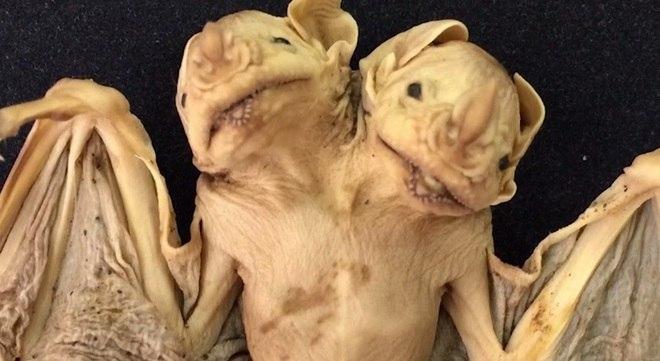 Exames de ultrassom também mostram que os animais tinham corações de tamanho igual. Os pesquisadores suspeitam que os morcegos tinham corações separados