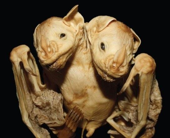 O cadáver de um morcego raro de duas cabeças foi encontrado e analisado pelo pesquisador de pesquisador pós-doutorado em biologia da Universidade Estadual do Norte Fluminense, Marcelo Rodrigues Nogueira. Saiba mais sobre esse evento raro que só foi registrado duas vezes na literatura científica