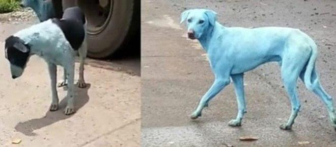 Cães azuis começaram a aparecer misteriosamente em uma área de Mumbai