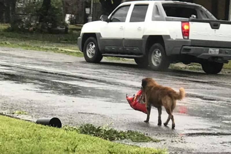 Após passagem de furacão, cachorro é visto carregando saco de ração sozinho