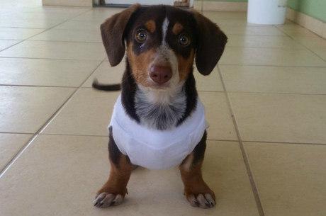 Essa filhote de dachshund acabou de ser castrada (por isso a roupinha) e já foi adotada; está só esperando a nova família ir buscá-la