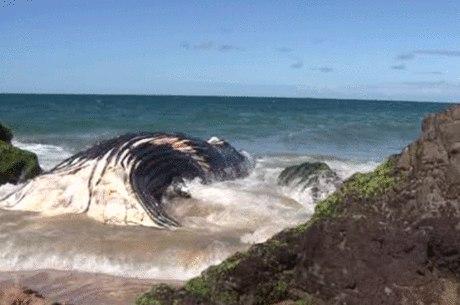 De acordo com a empresa, a maré baixa deve facilitar a remoção do animal