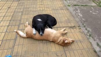 Cão vela corpo de