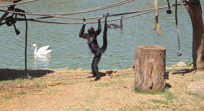 Macaco no Zoológico de São Paulo: vírus encontrado não é da região, mas importado