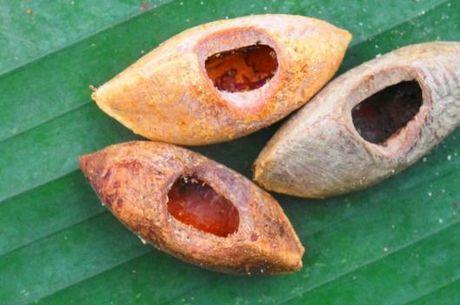 Algumas das castanhas que acredita-se terem sido roídas pelo bicho