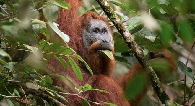 Cientistas embarcaram em uma profunda investigação sobre a evolução do orangotango Tapanuli ao longo de centenas de milhares de anos