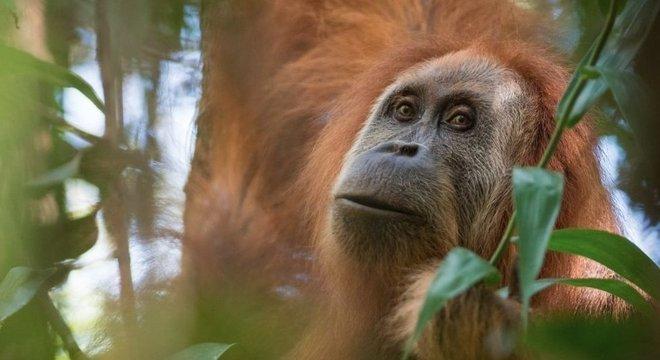 Pesquisadores estudam espécie de orangotango há 20 anos