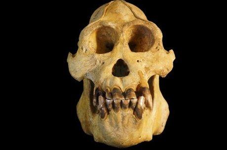 Orangotango Tapanuli tem aspectos anatômicos distintos - revelados por uma análise detalhada de seu crânio
