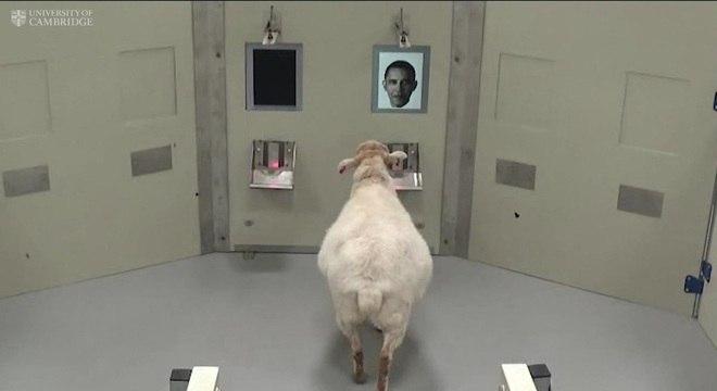 Pesquisadores treinaram ovelhas para identificar os rostos de famosos
