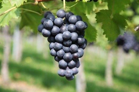 A uva tem substância antioxidante