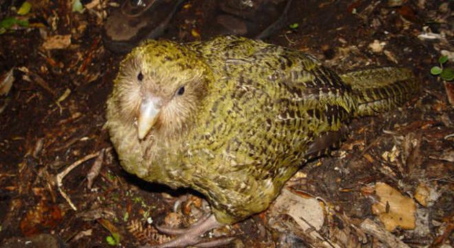 O Kakapo tem as asas atrofiadas por causa de seu peso elevado