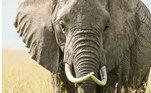 O estudo também apontou declínios alarmantes de algumas espécies. Populações de elefantes africanos diminuíram 98% entre 1985 e 2010, muito por causa do crescimento da caça em regiões do continente africano