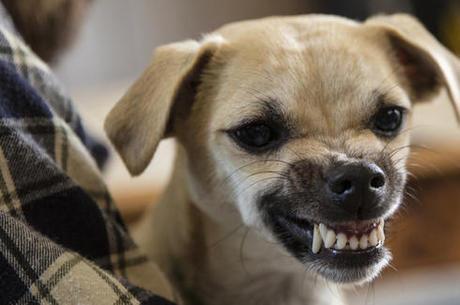 cão agressivo
