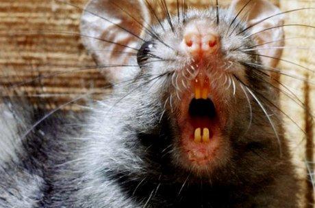 Pulgas de roedores foram culpados pela epidemia