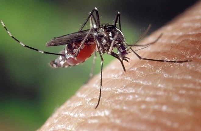 O Aedes albopictus não transmite doenças no Brasil, até o momento. Estudos comprovaram que a espécie carrega o vírus da febre amarela, mas não tem capacidade de transmiti-la. O mosquito também tem potencial para transmitir dengue, zika e chikungunya. Na Ásia e na América do Norte, ele transmite essas doenças.Ele está distribuído em áreas rurais da grande maioria dos Estados brasileiros. Apresenta o mesmo hábito alimentar do primo,Aedes egypti, com maior atividade no início da manhã e no final da tarde. A diferença é que não se alimenta preferencialmente de sangue humano, mas do animal que encontrar pela frente