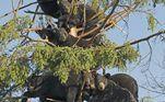 Uma árvore que dá cachos de urso? Não, só uma reuniãozinha entre amigos