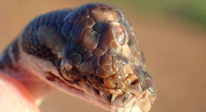 A cobra tinha dificuldade para se alimentar devido à deformação