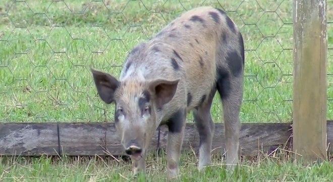 Os porquinhos adoram dar uma leve mordida nos peões