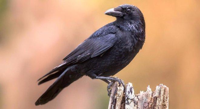 inteligência dos corvos pode ser mais avançada do que se pensava
