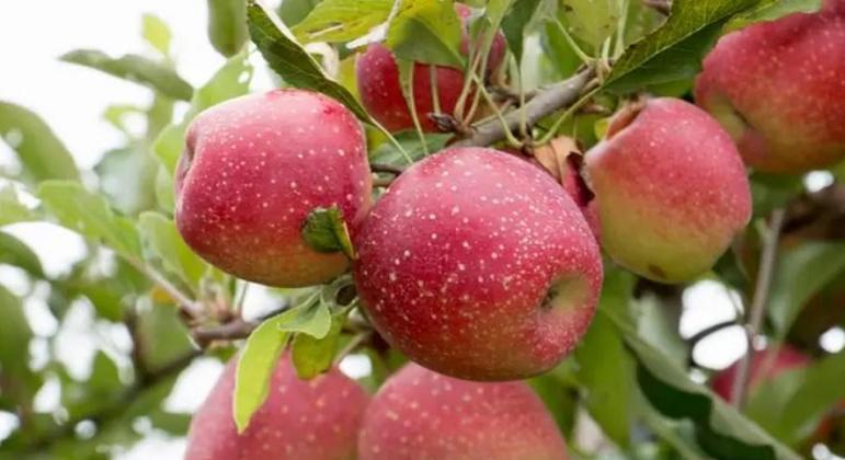 A maçã é rica em fibras e é comprovado que é uma das frutas mais nutritivas. Se torna um