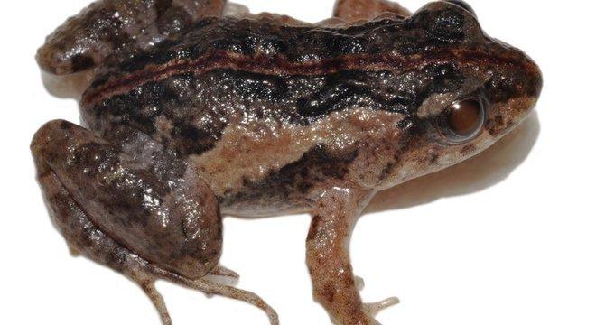 A pseudopaludicola florencei, recém-descoberta na Bahia