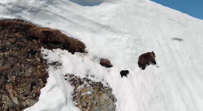 A ursa teria escolhido uma rota perigosa para fugir do drone, dizem especialistas