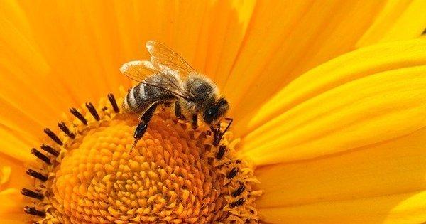 Pesticida à base de nicotina afeta o sono das abelhas, diz estudo