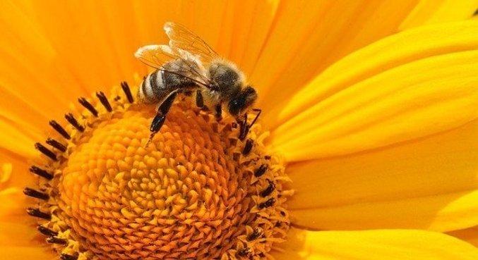 Utilização do neonicotinoide afeta o relógio biológico das abelhas