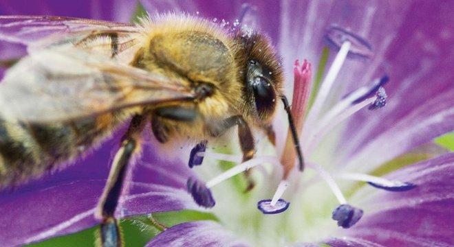 Em muitos países, a população de abelhas selvagens está em declínio