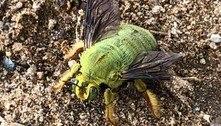 Abelha de cor verde deixa internautas em êxtase: 'A mais fofa'