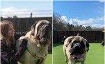A raça é bem conhecida pelo seu tamanho anormalmente grande e são reconhecidos pelo Guinness World Records como sendo a raça canina mais pesada. O recordista mais pesado com 142kg é um velho mastim chamado Zorba, cuja marca foi registrada em 1987