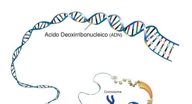 Ácido desoxirribonucleico, o que é? Definição, estrutura e funções