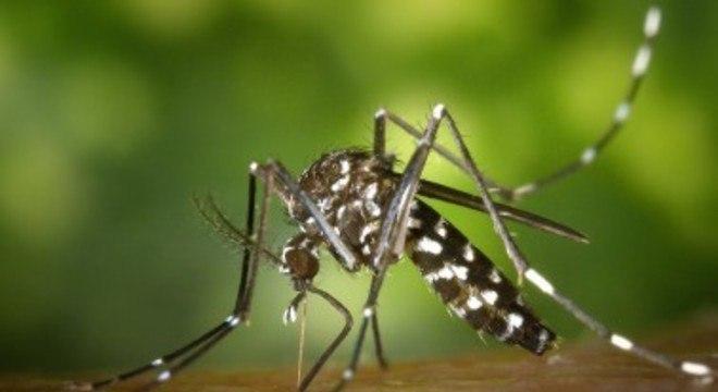 O mosquito Aedes aegypti é o transmissor da dengue, zika e chikungunya