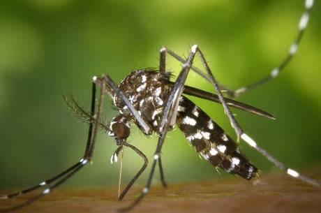 Aedes aegypti é o transmissor do zika vírus