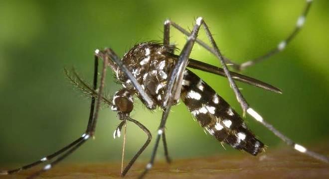 Aedes aegypti é o transmissor da dengue, zika e chikungunya