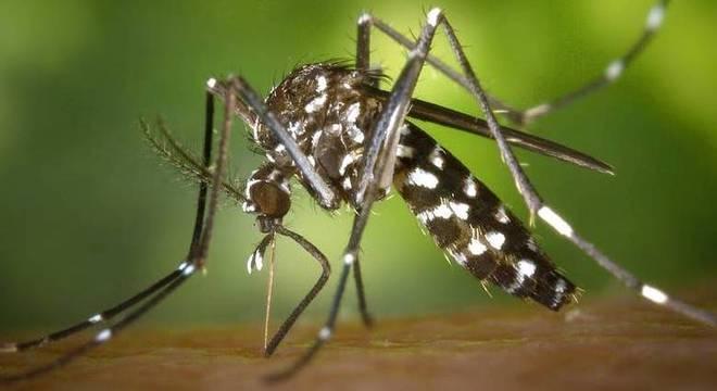 Mosquito Aedes aegypti é o transmissor da dengue, zika e chicungunya