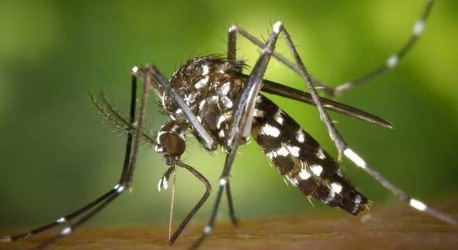 O mosquito Aedes aegypti é o transmissor da dengue