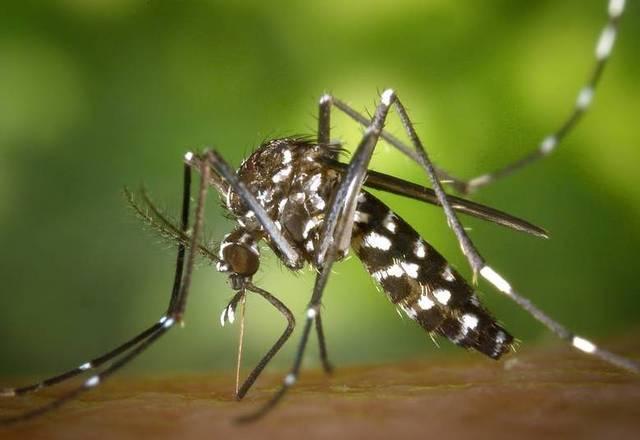 O Aedes egypti transmitedengue, zika e chikungunya, no momento, no Brasil. É preto com listras brancas, que na verdade são escamas,e dispõe de um desenho no tórax que lembra uma lira (instrumento musical). Voa baixo e por isso costuma picar pés e tornozelos, principalmente no início da manhã e final da tarde, quando a temperatura está mais amena. Próprio de áreas tropicais, não resiste a baixas temperaturas. Sua principal fonte de alimentação é o sangue humano. É um mosquito urbano que se prolifera em áreas com grande continente populacional
