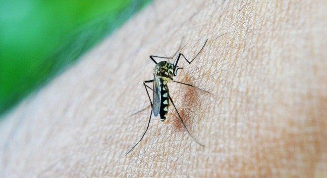 O mosquito Aedes aegypti transmite a dengue, zika e chikungunya