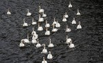 Dozens of swans are seen as they swim back from their wintering grounds to the Inner Alster lake in Hamburg, northern Germany, on Mai 4, 2021. As every year when the cold season approaches, the so-called Alster-swans are being moved to their ice-free winter home and then released back in spring. Axel Heimken / AFP