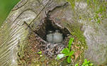 Collared kingfisher chicks are seen inside a log serving as their nest at a park, while waiting for their parents to feed them, in Singapore on April 13, 2021. Roslan RAHMAN / AFP