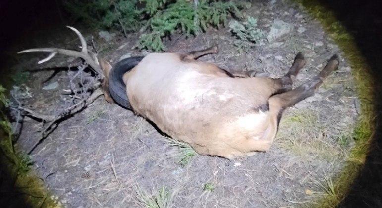 Alce teve pneu removido do pescoço após 2 anos de buscas pelo animal