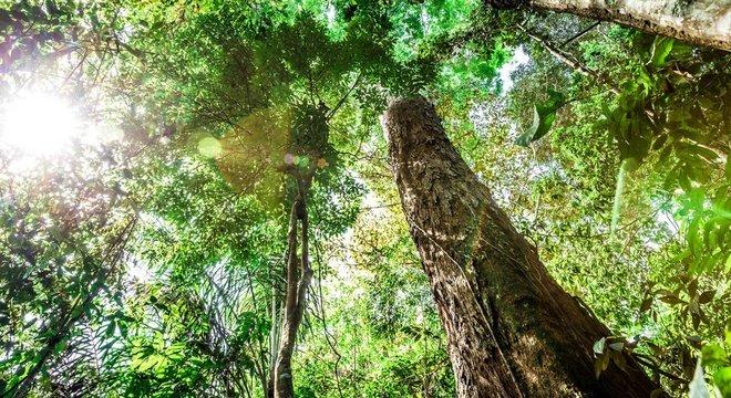 Uma única árvore gigante é capaz de sequestrar a mesma quantidade de carbono da atmosfera que 300 a 500 árvores pequenas